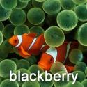 Blackberry Storm Clown Fish 360x480